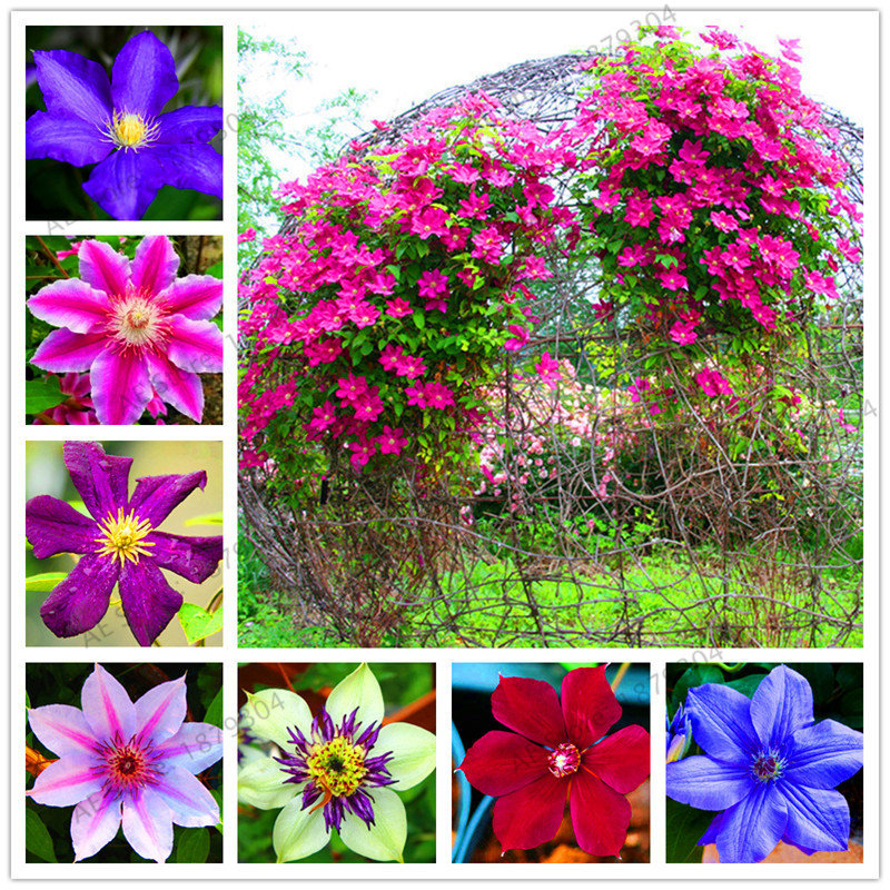 Egrow 100pcs Clematis Seeds Beautiful Climbing Plant Flower Seeds