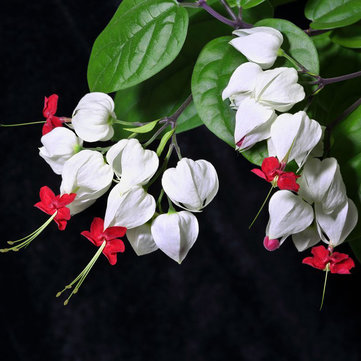 Egrow 20Pcs Clerodendrum thomsonae Balf Seeds Rare Flower Garden Bonsai Seeds
