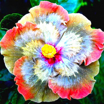50Pcs/Pack Giant Hibiscus Flower Seeds