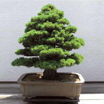 20Pcs Bonsai japonés Semillas Semillas Semillas Semillas de árboles raros para el Jardín Hogar