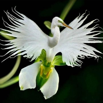 200pcs Japanese Egret Flowers Seeds