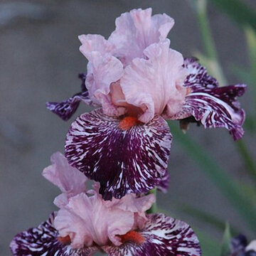 50Pcs/Bag Rare Iris Tectorum Seeds