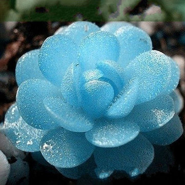 Egrow 100 PCS Blue Lithops Perene Pseudotruncatella Seeds