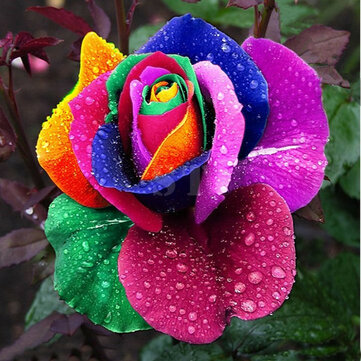 100Pcs Rainbow Rose Seed Colorful Rose