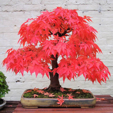 10pcs Red Maple Seeds