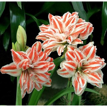 50Pcs Rainbow Lily Seeds Potted Bonsai Plant