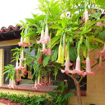 100pcs graines de fleurs de datura